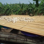 mushrooms dry fast in the Kakunyu sun
